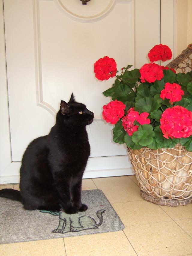 Figaro, mon beau chat noir.