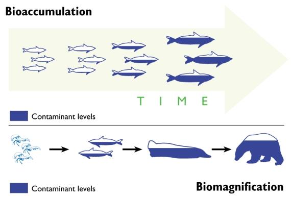 Comparaison bioaccumulation - biomagnification