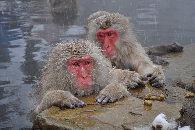 640px-Snow_Monkeys,_Nagano,_Japan