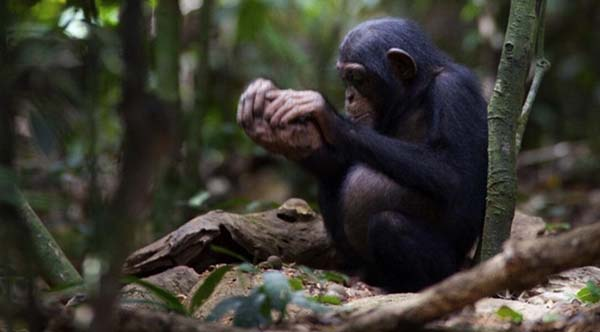 Chimpanzé de la la forêt de Taï s'exerçant au cassage de noix. Photo tirée de van Schaik, 2012